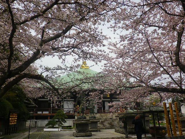 06) 本堂方向 _ 17.04.10 鎌倉「長勝寺」 の桜