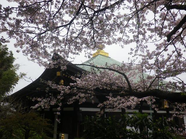 09) 本師堂前から、本堂(帝釈堂)方向。 _ 17.04.10 鎌倉「長勝寺」 の桜