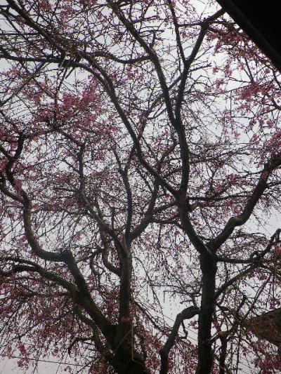 10-2) 枝垂れ桜 _ 17.04.10 鎌倉「長勝寺」 の桜