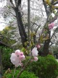 02)    17.04.10 鎌倉「宝戎寺」 例年よりも開花が遅かった参道の桜