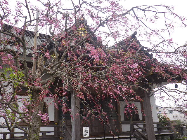 06-2)   17.04.10 鎌倉「妙隆寺」の桜
