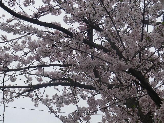 03-2)    17.04.10 「鎌倉逗子ハイランド(逗子ハイランド)」の桜