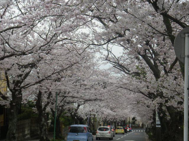 04)    17.04.10 「鎌倉逗子ハイランド(逗子ハイランド)」の桜