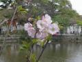 13-2) ' 桐ヶ谷 ' 桜     17.04.10 鎌倉「鶴岡八幡宮」源氏池の桜