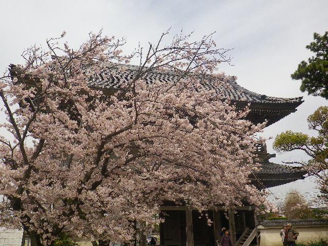 04)    17.04.10 鎌倉「光明寺」の桜