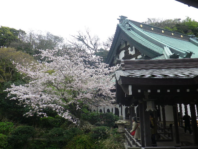 09-2)    17.04.10 鎌倉「光明寺」の桜