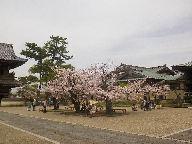 11)    17.04.10 鎌倉「光明寺」の桜