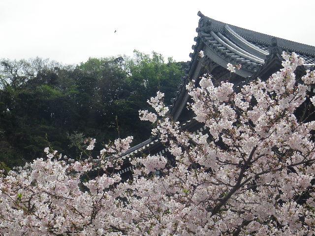 17)    17.04.10 鎌倉「光明寺」の桜