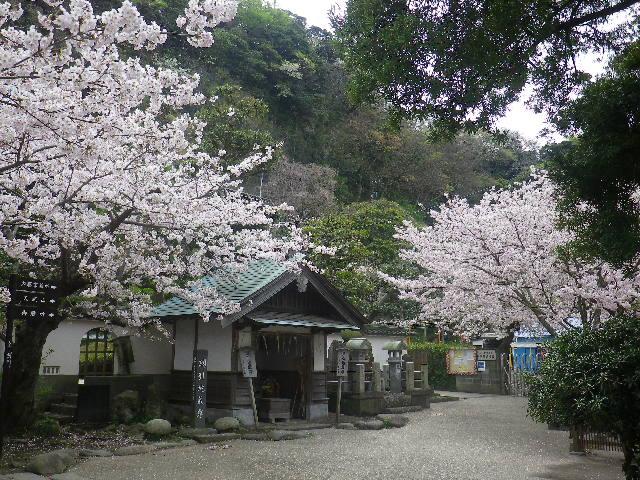 20)    17.04.10 鎌倉「光明寺」の桜