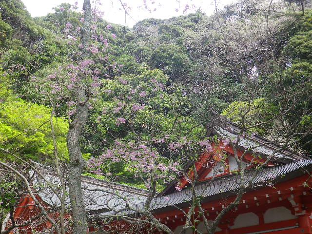 04-1)    17.04.10 鎌倉「荏柄天神社」の桜