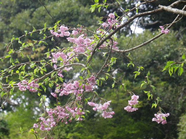08-2)    17.04.10 鎌倉「荏柄天神社」の桜
