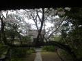 02)  参道を横切る桜が満開  17.04.10 鎌倉「教恩寺」の桜 と リュウキュウバイ