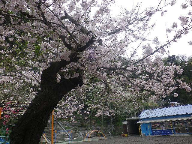 01)    17.04.10 鎌倉「私立 材木座幼稚園」の桜