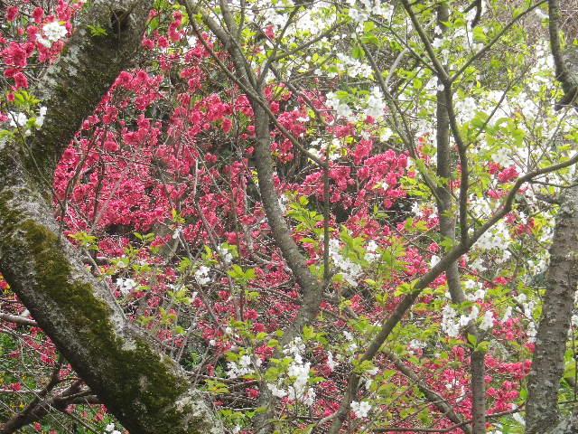 04-2)    17.04.10 鎌倉「私立 材木座幼稚園」の桜