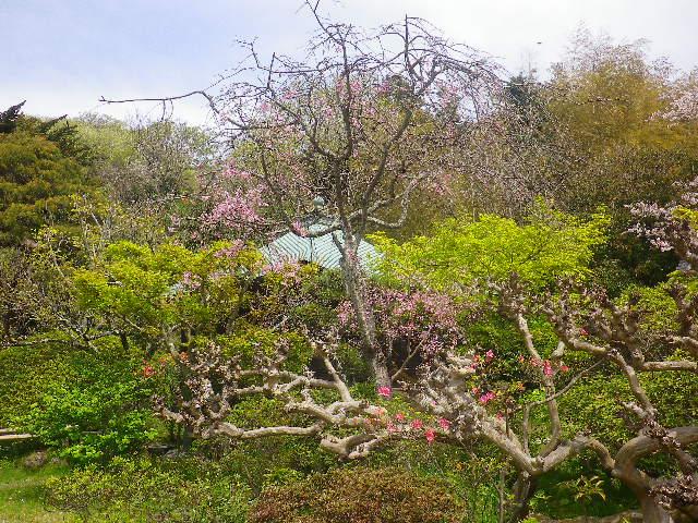 07-2)   17.04.16 鎌倉「浄光明寺」 桜の花びらが風に舞う日