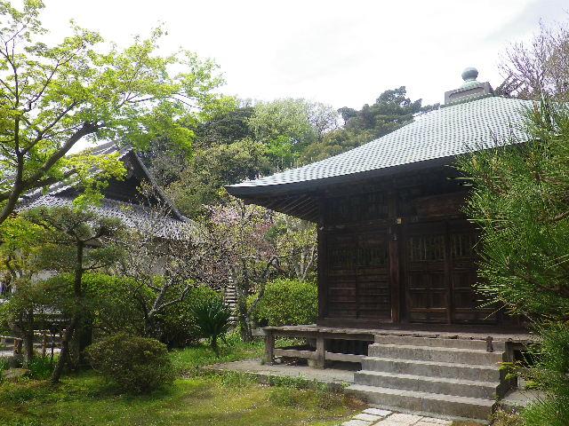 07-3)   17.04.16 鎌倉「浄光明寺」 桜の花びらが風に舞う日