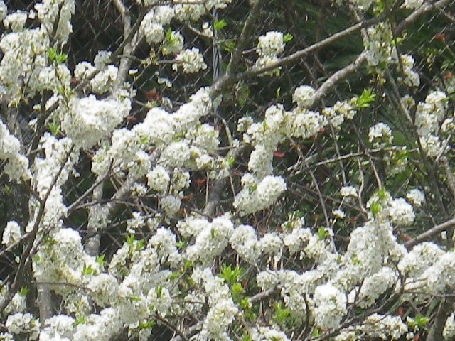 A01-2)   17.04.16 旧 川喜多邸の庭、桜の花びらが舞う日。