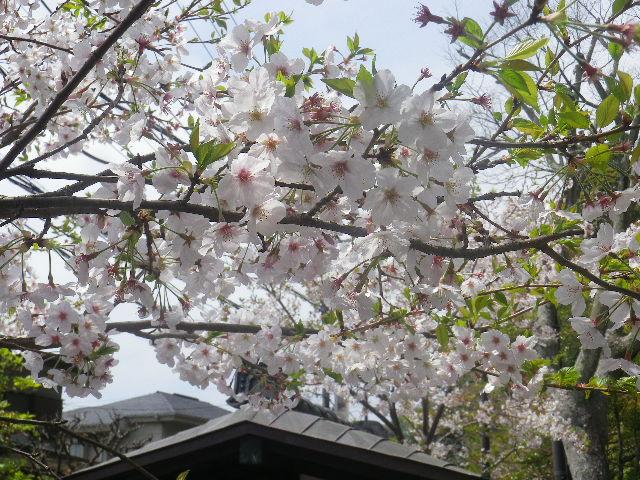B01-2)   17.04.16 旧 川喜多邸の庭、桜の花びらが舞う日。