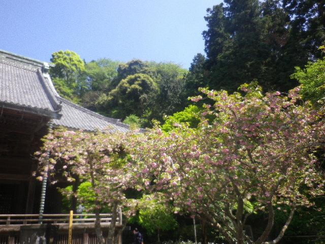 01-3) 左:海棠 と 右:八重桜   17.04.23 鎌倉「妙本寺」の八重桜、御衣黄(ギョイコウ)、シャガと新緑。