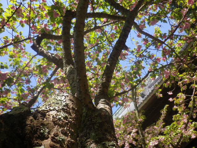 01-4)  八重桜大木の下に潜って、上方を撮った。  17.04.23 鎌倉「妙本寺」の八重桜、御衣黄(ギョイコウ)、シャガと新緑。