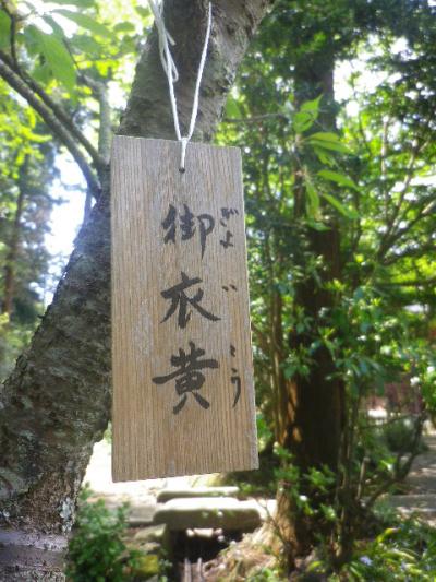 02-3) 無知な私にはありがたい、御衣黄の名札。   17.04.23 鎌倉「妙本寺」の八重桜、御衣黄(ギョイコウ)、シャガと新緑。