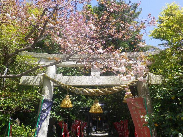 02)    17.04.23 鎌倉 大町「八雲神社」の八重桜