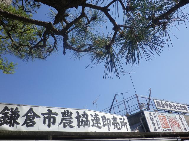 01)    17.04.23 鎌倉 ' 若宮大路 ' 沿いの八重桜
