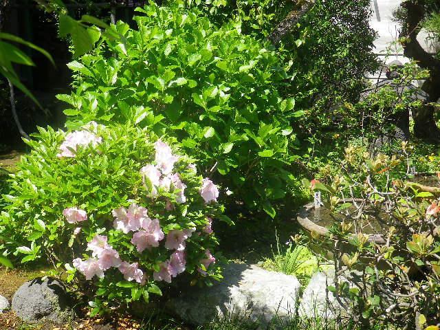 03) ツツジ  _ 17.04.23 鎌倉「大巧寺」 晩春の庭