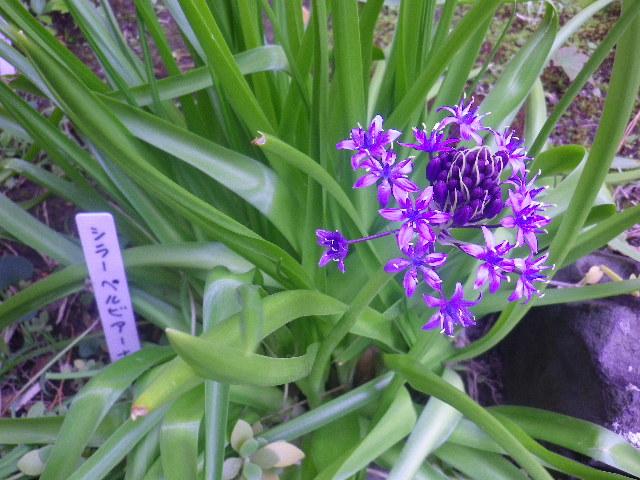 05) シラーペルビアーナ  _ 17.04.23 鎌倉「大巧寺」 晩春の庭