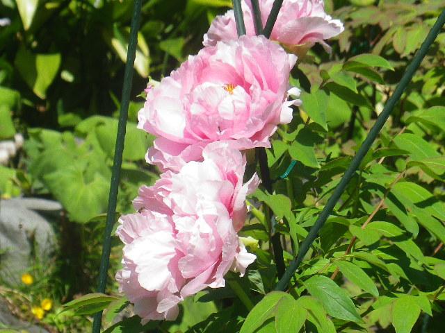 10-2) ?  _ 17.04.23 鎌倉「大巧寺」 晩春の庭