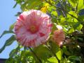 21-2) えぞにしき  _ 17.04.23 鎌倉「大巧寺」 晩春の庭