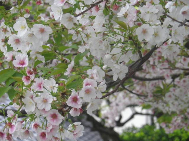 03-2)    17.04.22 鎌倉「千手院」の桜