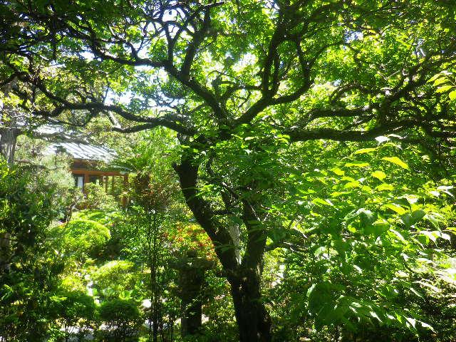 14-2)    17.05.05端午  鎌倉「寿福寺」立夏。 中門を潜ることができる期間の日。