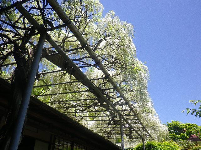 11)  白藤、書院前の藤棚。  17.05.05端午  鎌倉「英勝寺」立夏。