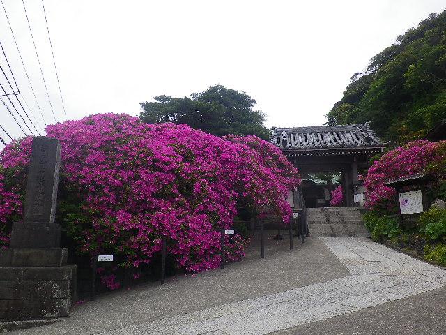 01)    17.05.09 鎌倉「安養院」の 咲き揃ったツツジ