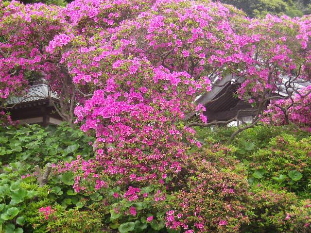 05)   17.05.09 鎌倉「安養院」の 咲き揃ったツツジ