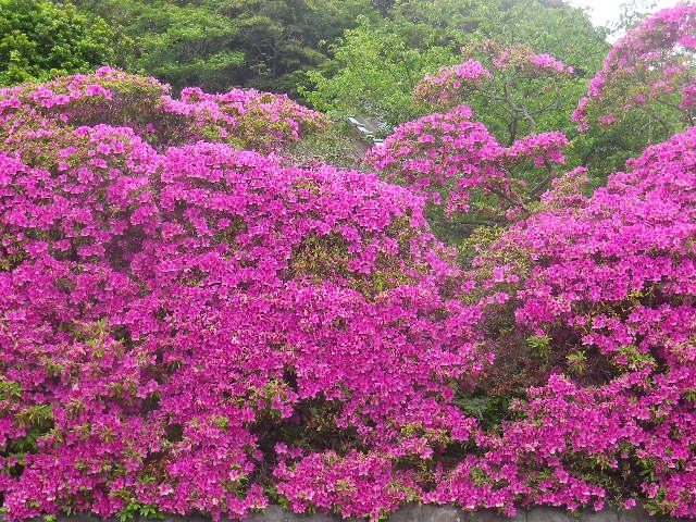 06)   17.05.09 鎌倉「安養院」の 咲き揃ったツツジ