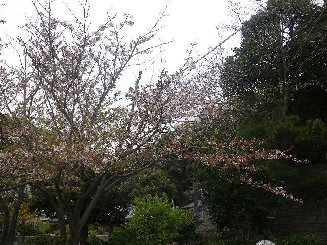 01-1)    17.04.17 近所の山桜などをテキトーに撮った