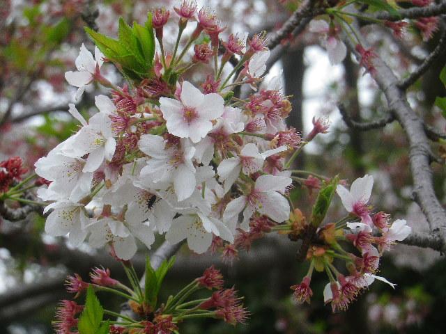 01-2)   17.04.17 近所の山桜などをテキトーに撮った