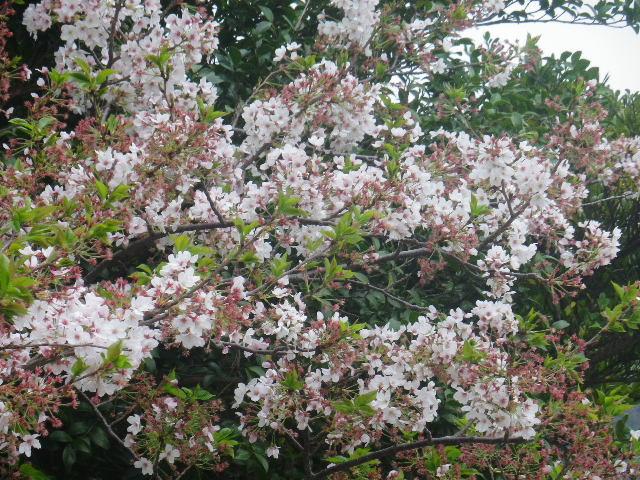 02-2)   17.04.17 近所の山桜などをテキトーに撮った