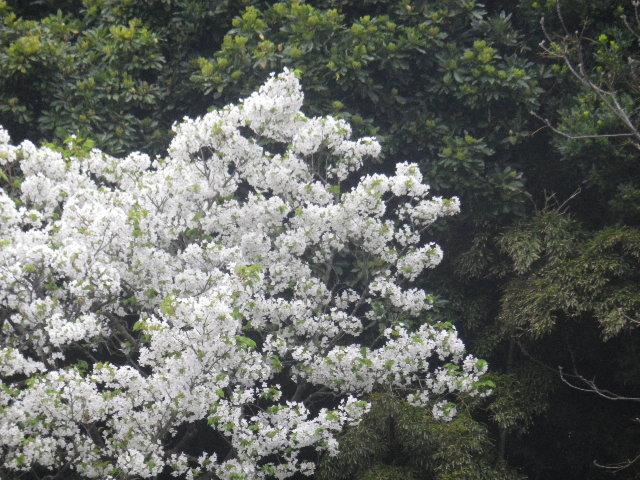 11-2)   17.04.17 近所の山桜などをテキトーに撮った