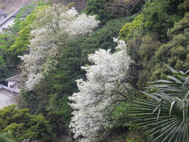 13-2)   17.04.17 近所の山桜などをテキトーに撮った