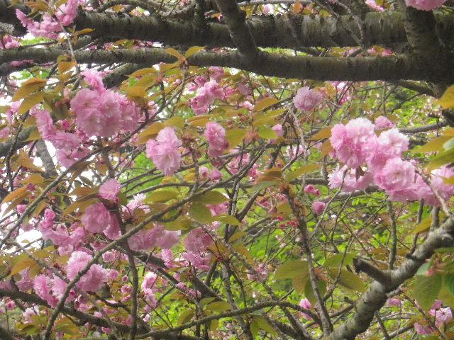 33)  写真32-1)とは別のズームアップのつもりだけど、木の全体を撮り忘れた。  17.04.17 近所の山桜などをテキトーに撮った