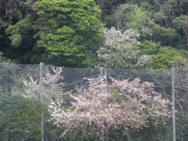 34)  コレも毎回のように撮っているマンネリワンパターン・シリーーズの、金網の網目から枝が伸びて育った桜  17.04.17 近所の山桜などをテキトーに撮った