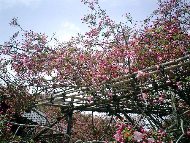 10) 鎌倉長谷「光則寺」。 本堂と海棠