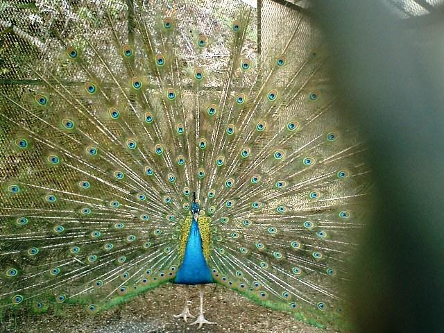 19) 鎌倉長谷「光則寺」。境内のクジャク。細かい金網越に撮った。15分くらい羽を広げていた。