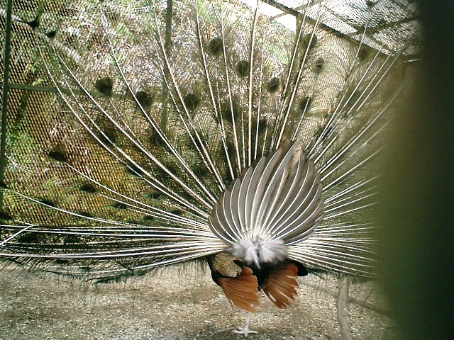 21) 鎌倉長谷「光則寺」。境内のクジャク。細かい金網越に撮った。15分くらい羽を広げていた。o