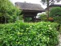 01-1)    17.05.25 鎌倉「極楽寺」山門外、紫陽花の蕾を偵察。