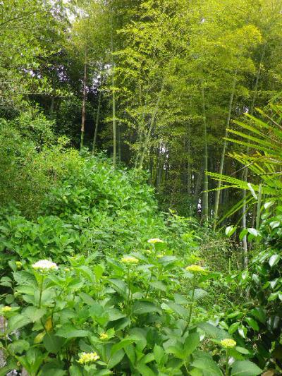 04)  ' あじさいの小径 ' 出口周辺    17.05.25 鎌倉「御霊神社」を参拝した