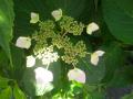 03-2) ガクアジサイ種    17.05.29 鎌倉「大巧寺」イワガラミ咲いたよっ!
